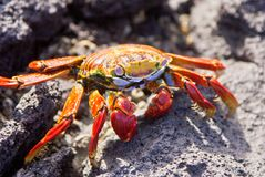 Sally Lightfoot Crab on rock. Sally Lightfoot crab on Galapagos Islands Royalty Free Stock Photos