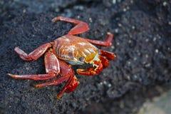 Sally lightfoot crab on the rocks. Sally lightfoot crab on the lava rocks of the Galapagos islands Stock Image