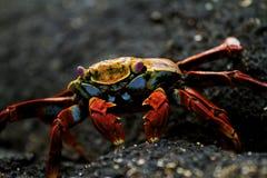Sally Lightfoot Crab. A Sally Lightfoot crab in the Galapagos Islands royalty free stock photos