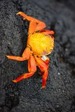 Sally lightfoot crab. On a black lava rock Stock Image