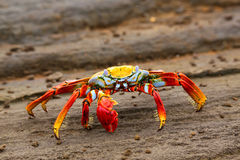 Sally lightfoot crab on Santiago Island in Galapagos National Pa stock photo