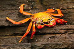 Sally lightfoot crab on Santiago Island in Galapagos National Pa royalty free stock image