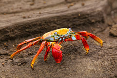 Sally lightfoot crab on Santiago Island in Galapagos National Pa royalty free stock images
