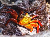 Sally lightfoot crab on galapagos islands ecuador. Sally lightfoot crab sitting on stones on galapagos islands ecuador Stock Image