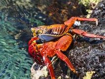 Sally lightfoot crab on galapagos islands ecuador. Sally lightfoot crab sitting on stones on galapagos islands ecuador Royalty Free Stock Photo