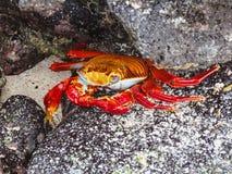 Sally lightfoot crab on galapagos islands ecuador. Sally lightfoot crab sitting on stones on galapagos islands ecuador Royalty Free Stock Images