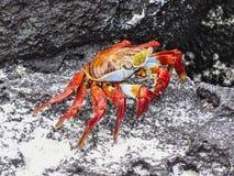 Sally lightfoot crab on galapagos islands ecuador. Sally lightfoot crab sitting on stones on galapagos islands ecuador Royalty Free Stock Photos