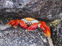 Sally lightfoot crab sitting on stones on galapagos islands. Ecuador Stock Photos