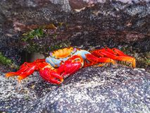 Sally lightfoot crab sitting on stones on galapagos islands. Ecuador Royalty Free Stock Photo