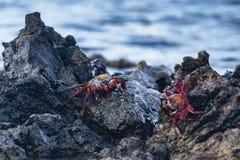 Sally Lightfoot Crab sulla roccia della lava Fotografia Stock Libera da Diritti