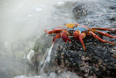 Sally Lightfoot crab. Surf breaking over a Sally Lightfoot crab on a rock, Galapagos Islands Stock Photos