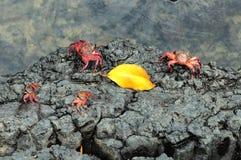 Sally Lightfoot Crab van de Galapagos Stock Fotografie