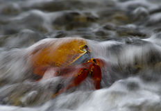 Sally lightfoot crab in waves, Galapagos. The brightly coloured crabs feed along the foreshore anchoring themselves to the rocks as the small waves roll ashore Royalty Free Stock Images