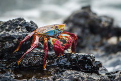 Sally Lightfoot crab on wet volcanic rocks Royalty Free Stock Images