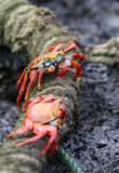 Sally Lightfoot Crabs Stock Photos