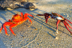 Sally Lightfoot Crabs Stock Photo
