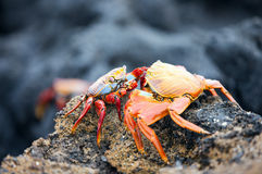 Sally lightfoot crabs Royalty Free Stock Images