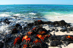 Sally lightfoot crabs - Galapagos Stock Photography