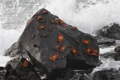 Sally Lightfoot Crabs gathered on a rock stock images