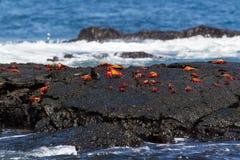 Sally Lightfoot Crabs Grapsus grapsus on a lava rock, Galapagos. A group of Sally Lightfoot Crabs Grapsus grapsus on a lava rock, Santiago Island, Galapagos Stock Photo