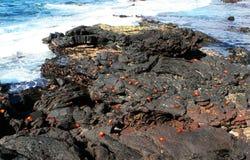 Sally Lightfoot Crabs on RocksS Stock Photography