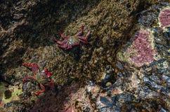 Sally lightfoot fångar krabbor i nationalpark Royaltyfri Bild