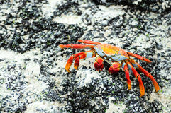 Sally Lightfoot galapagos island crabs Royalty Free Stock Images