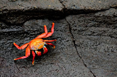 Sally Lightfoot galapagos island crabs Stock Image