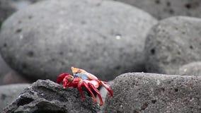 Sally lightfoot krab na Północnej Seymour wyspie, Galapagos park narodowy, Ekwador zdjęcie wideo