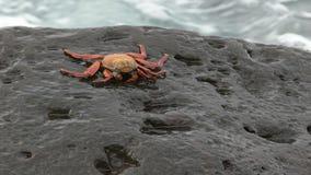 Sally lightfoot krab na skalistym brzeg przy isla espanola w galpapgos zbiory wideo