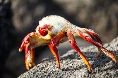 Sally lightfoot kraba ciosu bubblesin Galapagos Fotografia Royalty Free