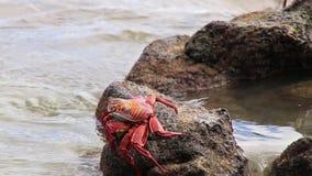 Sally lightfoot kraba karmienie na Chińskiej Kapeluszowej wyspie, Galapagos park narodowy, Ekwador zbiory wideo