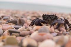 Sally Lightfoot krabba svart crimea hav Crimean krabba Mat Royaltyfri Fotografi