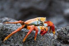 Sally-lightfoot Krabbe auf einem schwarzen Lavafelsen Lizenzfreie Stockbilder