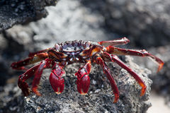 Sally-lightfoot Krabbe auf schwarzem Lavafelsen Stockfoto