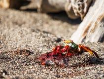 Sally-lightfoot Krabbe, die Nabelschnur isst Lizenzfreies Stockfoto