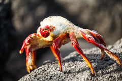 Sally-lightfoot Krabben-Schlag bubblesin Galapagos Lizenzfreie Stockfotografie
