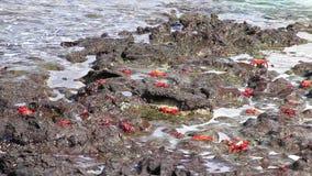 Sally lightfoot kraby na Północnej Seymour wyspie, Galapagos park narodowy, Ekwador zbiory wideo