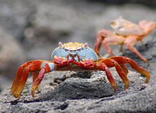 Sally Lightfoot Lava Crab Stock Foto's