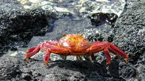 Sally Lightfoot at the Shoreline. Sally Lightfoot Grapsus grapsus Red Lava Crab, at the Shoreline of the Pacific Ocean at Galapagos Archipelago, Ecuador, South Royalty Free Stock Images