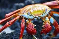 Sally Ljus-fot krabba Arkivbild