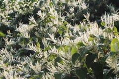 Sally rhubarb Japanese knotweed invasive species in autumn bloom. Horizontal aspect Royalty Free Stock Image