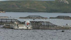Salmón atlántico de alimentación en una granja en puerto del macquarie metrajes