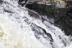 Salmón atlántico grande que salta encima de la cascada en su migr de la manera fotos de archivo
