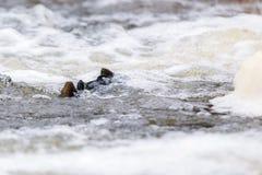 Salmón atlántico que salta rápidos para encontrar el lugar de jerarquización Swimm de los pescados imagenes de archivo