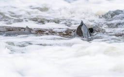 Salmões atlânticos que pulam a corredeira para encontrar o lugar de assentamento Swimm dos peixes fotos de stock royalty free