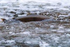 Salmões atlânticos que pulam a corredeira para encontrar o lugar de assentamento Swimm dos peixes imagem de stock royalty free