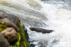 Salmões atlânticos que pulam a corredeira para encontrar o lugar de assentamento Swimm dos peixes foto de stock