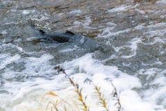 Salmões atlânticos que pulam a corredeira para encontrar o lugar de assentamento Swimm dos peixes fotografia de stock
