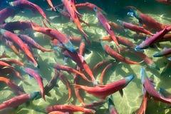 Salmões de Kokanee (nerka de Oncorhynchus) em suas cores desovando, Utá Fotografia de Stock